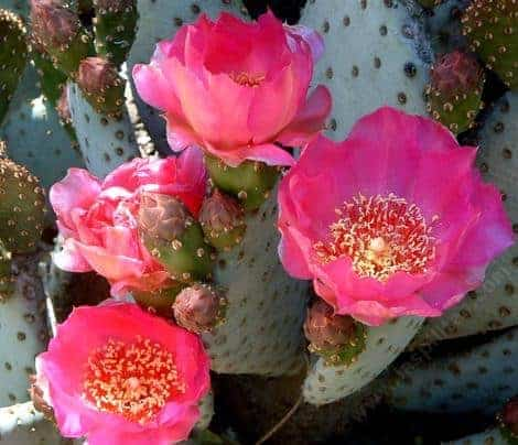 cactus blossom Fragrance Oil